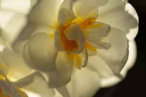 01-FPLANUL-Narcisse